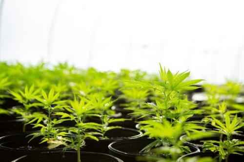 How to grow hemp _ How is hemp Grown _ CBD _ CBD Oil _ Buy CBD _ Best CBD Oil online _ Best CBD in Europe